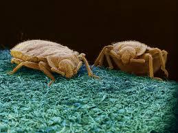 Bean Leaves Bed Bugs Diy Bedbug Trap Cheap Easy Effective