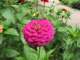 Zinnia Flowers Growing Zinnias Tips On How To Plant Zinnias Urban Gardening