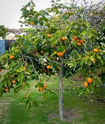 persimmon tree for sale the tree center