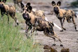 safari ltd african wild dog how pet dogs are helping out their endangered kin in the wild