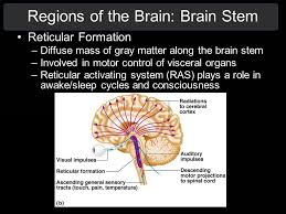 Role Of Brain Stem The Nervous System Structure And Function Of The Cns Ppt Download