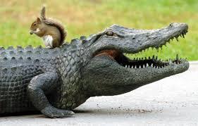 Florida wildlife images Florida wildlife quot unlikely duo quot squirrel alligator orlando jpg