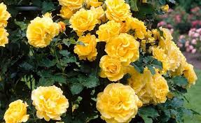 yellow roses with tips yellow roses garden gardening flower and vegetables