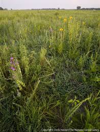 plants native to kansas using defoliation of dominant grasses to increase prairie plant