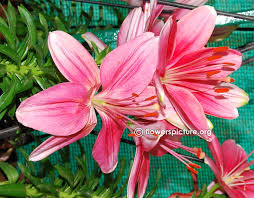 Dragon Lily Flower - lily or alstroemeria flower varieties