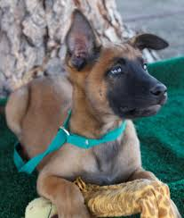 belgian shepherd usa sold dogs hillside k9 academy training kennel