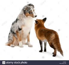 australian shepherd queensland wild dog australian stock photos u0026 wild dog australian stock