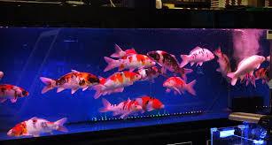 japanese koi markham aquarium 2u