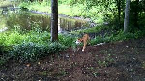 australian shepherd and golden retriever mix free dog australian shepherd golden retriever mix video 1