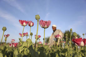 opium survey afghanistan opium production up by 87 percent