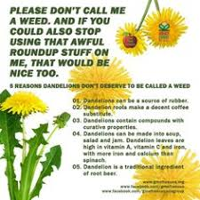 Dandelion Facts Wow Never Knew Fun Facts Pinterest