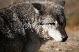 side view of a gray wolf stock photo thinkstock