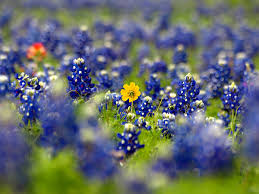 21 insanely colorful photos from texas wildflower season
