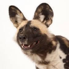 safari ltd african wild dog african wild dog national geographic