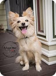 american eskimo dog short hair foxxy and bella adopted dog houston tx american eskimo dog