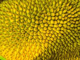 shell wallpaper close jack jack fruit shell wallpaper and background