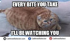 Fat Cat Meme - fat cat memes cat breed selector