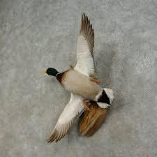mallard duck drake bird mount for sale 16427 the taxidermy store