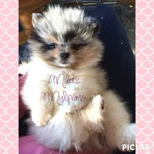 affenpinscher for sale near me charming u0026 cute mini pomeranian puppies for sale puppies for