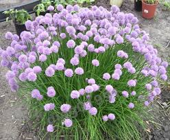 Plants Blooming Time To Deadhead The Chives