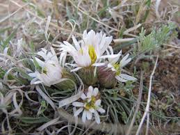 native plant society of oregon wonderful world of native plants u2013 easter flowers the taos news