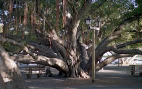 the banyan tree in lahaina hawaii absolutely the coolest tree