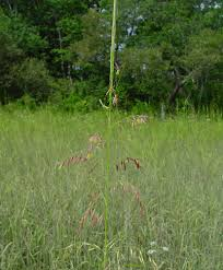 plants native to massachusetts zizania palustris northern wild rice go botany