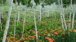birch tag wallpapers birch grass alberta grove canada trees