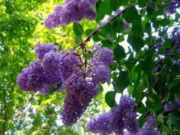 Tree With Purple Flowers Lilac Tree With Flowers Syringa Vulgaris Youtube