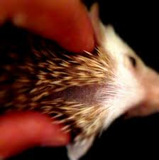 hedgehog quilling vs quill loss u2013 hanzo u0026 friends responsible