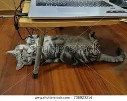 Cat Laying On Glass Table Cat Under Table Stock Images Royalty Free Images U0026 Vectors