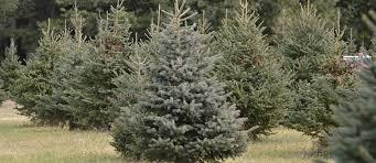 christmas tree farm the blackstock christmas tree farm