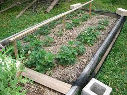 Strawberry Garden Beds Houston Strawberries Tomatoville Gardening Forums
