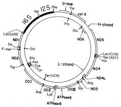 mitochondrial dna mutations essential hypertension review