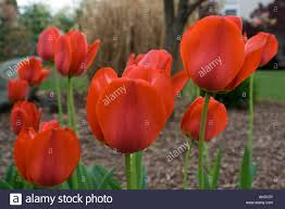 Flower Garden Chairs Red Spring Tulips In A Flower Garden Set Against Mulch And A House