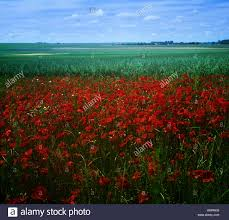 the somme poppy stock photos u0026 the somme poppy stock images alamy