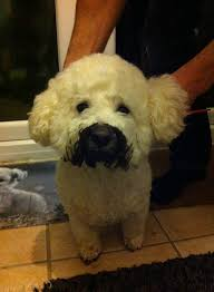bichon frise jumping 17 reason the bichon frise is the best dog breed
