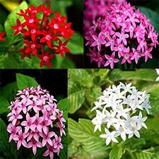 pentas flower adb inc 2016 pentas lanceolata flower seeds starry