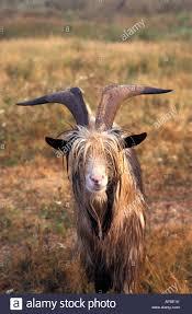 netherlands blaricum goat standing on land name rase dutch