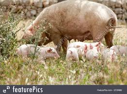 domestic animals pig piglet outdoor in summer stock