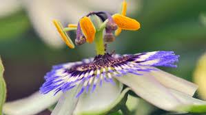 Rainforest Passion Flower - paphiopediium villosum beautiful tropical flowers in