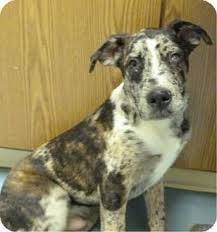 australian shepherd catahoula mix pagosa springs co bullmastiff australian shepherd mix meet