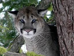 Ohio wild animals images Bobcats mountain lions cougars and leopards in ohio with video jpg