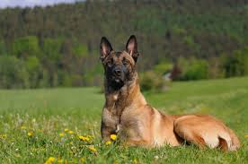 belgian shepherd kinds belgian malinois dog breed gallery