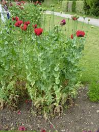 Opium Opium Poppy Flowers Papaver Somniferum Opiate Addiction