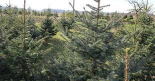 choose u0026 cut your own christmas tree in saratoga