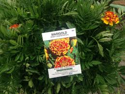 grow marigolds in your vegetable garden youtube
