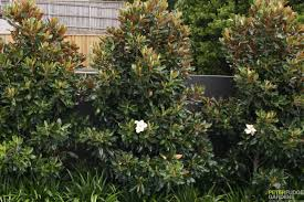 native hedging plants magnolia