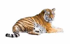tiger wallpaper full hd ololoshenka pinterest tiger tiger wallpaper full hd
