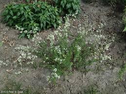 baby s breath flower galium mollugo false baby s breath minnesota wildflowers